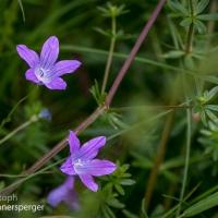 Wiesenglockenblumen