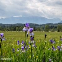 Schwertlilien Staffelsee-Wiesen