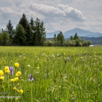 Trollblumen am Wanderweg