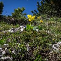 Alpen-Aurikel
