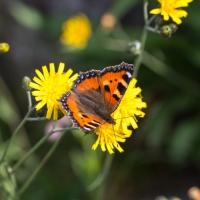 Schmetterlinge am Gipfel